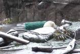 თეთრი დათვის ბელი თოვლში პირველად თამაშობს