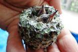 კოლიბრის გადარჩენილი ბარტყი - ყველაზე სიმპატიური მათ შორის, რაც კი ოდესმე გინახავთ!