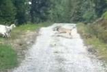 ცხვარი მგელს თავს დაესხა, ეს ბუნების კანონებს სცდება