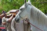 ცხენს 34 პატრონი ავარიაში დაეღუპა, დაკრძალვის დროს მის განცებმა თვითმხილველების გაოცება გამოიწვია
