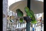 თუთიყუშები ადამიანების კამათს იმიტირებენ