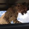 ტურისტები შეშინდნენ, როდესაც ავაზა მათ მანქანაზე შეხტა (სახალისო ვიდეო)