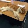 სასწავლო დაწესებულება, სადაც კატები საკლასო ოთახებში თავისუფლად გადაადგილდებიან და მაგიდებზე სძინავთ