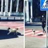 ბათუმელი მიუსაფარი ძაღლი ბავშვებს გზაზე გადასვლაში ეხმარება (ემოციური ვიდეო)
