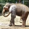 თბილისის ზოოპარკში სპილოს, ეშვის ამოღების, ურთულესი ოპერაცია ჩაუტარდება