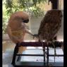 ცნობისმოყვარე თუთიყუში ბუს ყურადღების მიქცევას ცდილობს (სახალისო ვიდეო)