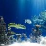 აკვარიუმის დიდი თევზების სახეობები