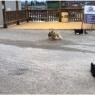 მწყემსმა ძაღლებმა თავიანთი შესაძლებლობები წარმოადგინეს, რამაც ადამიანები აღაფრთოვანა (უჩვეულო ვიდეო)