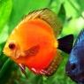 რა უნდა ვიცოდეთ იმისათვის, რომ ჩვენმა აკვარიუმის თევზებმა დიდხანს იცოცხლონ?