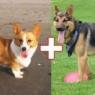 ძაღლის ჯიშების ყველაზე არანორმალური შეჯვარების შედეგები