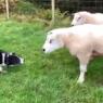 ჭკვიანმა ძაღლმა ჯიუტ ცხვრებს აჩვენა, თუ ვინ არის ფერმაში მთავარი (+ვიდეო)