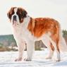 ძაღლის 12 ჯიში, რომლებიც იშვიათად ყეფენ
