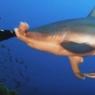 მყვინთავთან მიახლოებულ ზვიგენს ცხვირში მუშტი მოხვდა (უჩვეულო ვიდეო)