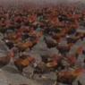 """ფერმერი 70-ათასიანი მამლების """"ჯარს"""" ყოველდღე  ასეირნებს  (უჩვეულო ვიდეო)"""