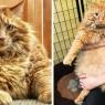 16 კილოგრამიან კატას მკაცრი დიეტა დაენიშნა