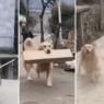 ძაღლს ყოველი სეირნობის შემდეგ სახლში სხვისი ნივთები მოაქვს (სახალისო ვიდეო)
