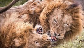 ფოტოგრაფმა ხვადი ლომების ეპიკური შერკინება ეჭვიანობის გამო, ნაკრძალში შემთხვევით გადაიღო