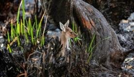 ავსტრალიის მიწებზე ბუნება ნელი ტემპით კვლავ ცოცხლდება (ემოციური ფოტოები)