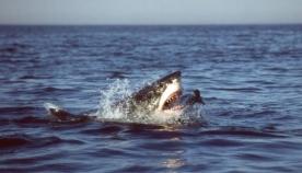 ზვიგენი ამ მამაკაცს თავს დაესხა და სიკვდილს გადაარჩინა!