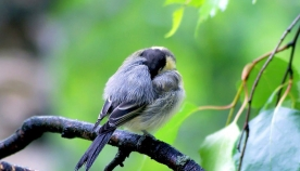 რატომ არ ვარდებიან ფრინველები ტოტიდან ძილის დროს?