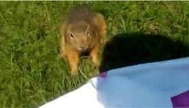 ჯიუტი თრია ცდილობს გოგონას პლედი წაართვას (სახალისო ვიდეო)