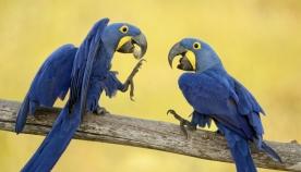 რატომ საუბრობს ზოგი თუთიყუში, ზოგი კი - არა?