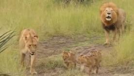 ხვადი ლომი შვილებს ღმუილს ასწავლის (+ვიდეო)