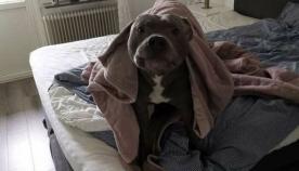 მოხუცს მეზობლის პიტბულის საშინლად ეშინოდა, სანამ ძაღლმა მისი სიცოცხლე არ გადაარჩინა