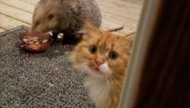 კატა პატრონს დახმარებას სთხოვს... ენოტმა საკვები შეუჭამა