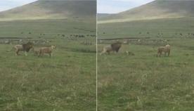 პატარა ძაღლმა ძუ ლომთან ერთად მოსეირნე ცხოველთა მეფე შეაშინა (სახალისო ვიდეო)