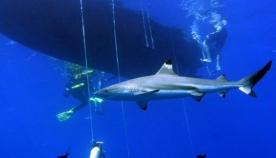 მეცნიერებმა დაადგინეს, რომ ზვიგენი ბევრად ჭკვიანია, ვიდრე კურდღელი ან კატა