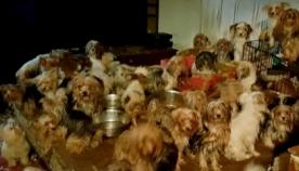 წყვილს პატარა ბინაში 170 ძაღლი საშინელ პირობებში ჩაკეტილი ჰყავდა