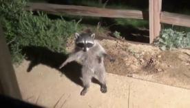 """""""თუ გავშეშდებით, ქანდაკება ვეგონებით"""" - ორი ენოტის სასაცილო რეაქცია, როდესაც ისინი ბაღში გამოიჭირეს (სახალისო ვიდეო)"""
