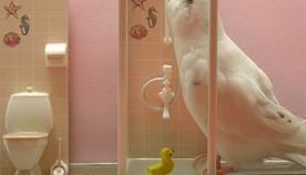 ტალღოვანი თუთიყუშის ბანაობა: ვგეგმავთ წყლის პროცედურებს