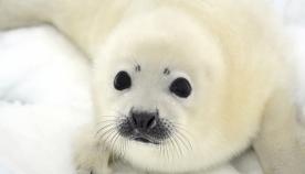 სპეციალისტებმა ახსნეს, თუ რატომ არ შეიძლება ზღვის ლომებისთვის ფოტოს გადაღება