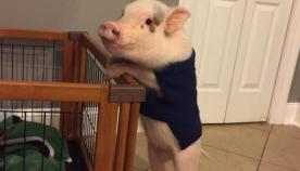 ღორი ქალაქის ბინაში შინაური ცხოველივით ცხოვრობს (სახალისო ფოტოები)