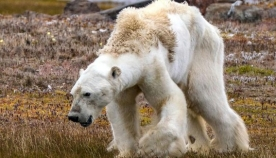 გადაშენდებიან თუ არა თეთრი დათვები, რომლებიც საკვებს უკვე ადამიანების მიერ დატოვებულ ნაგვის გროვებში ეძებენ