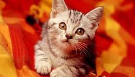 ყურების ენა - 5 მინიშნება, რომელიც კატების პატრონებმა უნდა იცოდნენ