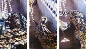 ერთი ციდა ძაღლი იაგუარს თავს დაესხა (სახალისო ვიდეო)