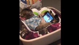 კატა ისვენებს და ამავე დროს ტელეფონში ფრინველების ყურებით ერთობა (სახალისო ვიდეო)