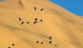 სად სვამენ უდაბნოს გადამფრენი ფრინველები წყალს?