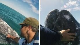ნაცრისფერი ვეშაპის ნაშიერი ნავს მიუახლოვდა და ადამიანებისგან მოფერებას ითხოვდა (+ვიდეო)