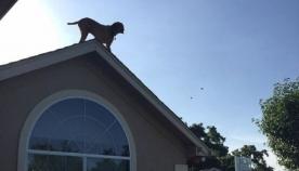 ძაღლი, რომელიც ყველაზე ორიგინალურად ესალმება სახლში დაბრუნებულ პატრონს