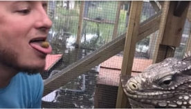 იგუანას გამოკვების ყველაზე საშიში მეთოდი (+ვიდეო)