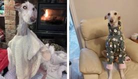 გამოფიტული ძაღლი კეთილმა ადამიანებმა ქუჩიდან აიყვანეს და აი, მისი ფოტო მზრუნველობის შემდეგ