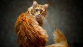 როგორ ავუხსნათ კატას, რომ... (ფუმფულა ბინადრის სახალისო ქცევები)