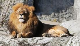 გერმანიაში ზოოპარკიდან ორი ლომი, იაგუარი, ორი ვეფხვი და დათვი გაიქცა
