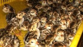 ველური ბუნების სააგენტოში ადგილობრივი და იშვიათი სახეობების ფრინველები გამოიჩეკა