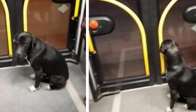 """""""დიდი დიღმიდან საბურთალომდე""""- უპატრონო ძაღლი 21 ნომერი ავტობუსით მგზავრობს"""