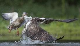 იხვი მტაცებელ ფრინველს თავს დაესხა